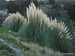 Netoli Fresno. Argentininė kortaderija (Cortaderia selloana)
