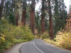 Sekvojos nacionalinis parkas. Didysis mamutmedis (Sequoiadendron giganteum) (10)