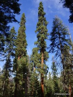 Sekvojos nacionalinis parkas. Didysis mamutmedis (Sequoiadendron giganteum) (12)