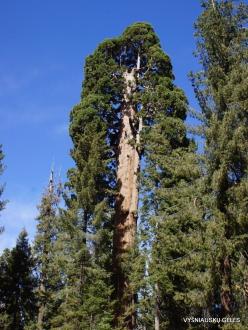 Sekvojos nacionalinis parkas. Didysis mamutmedis (Sequoiadendron giganteum) (13)