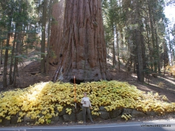 Sekvojos nacionalinis parkas. Didysis mamutmedis (Sequoiadendron giganteum) (15)