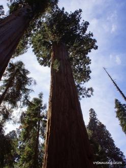 Sekvojos nacionalinis parkas. Didysis mamutmedis (Sequoiadendron giganteum) (17)