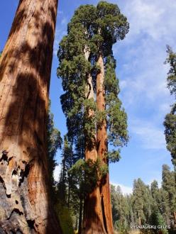 Sekvojos nacionalinis parkas. Didysis mamutmedis (Sequoiadendron giganteum) (18)