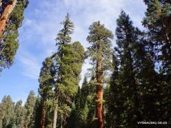 Sekvojos nacionalinis parkas. Didysis mamutmedis (Sequoiadendron giganteum) (19)
