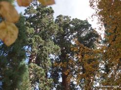 Sekvojos nacionalinis parkas. Didysis mamutmedis (Sequoiadendron giganteum) (2)