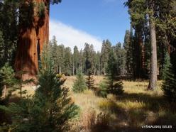 Sekvojos nacionalinis parkas. Didysis mamutmedis (Sequoiadendron giganteum) (20)