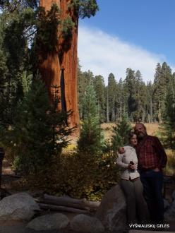Sekvojos nacionalinis parkas. Didysis mamutmedis (Sequoiadendron giganteum) (21)