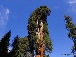 Sekvojos nacionalinis parkas. Didysis mamutmedis (Sequoiadendron giganteum) (22)