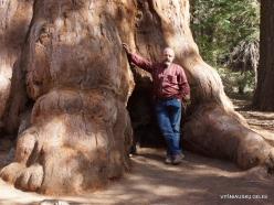 Sekvojos nacionalinis parkas. Didysis mamutmedis (Sequoiadendron giganteum) (23)