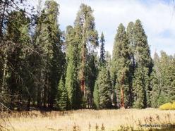 Sekvojos nacionalinis parkas. Didysis mamutmedis (Sequoiadendron giganteum) (24)