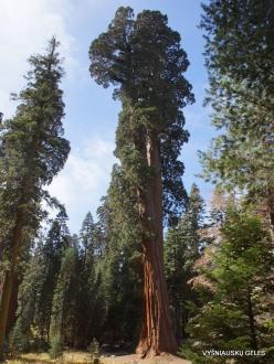 Sekvojos nacionalinis parkas. Didysis mamutmedis (Sequoiadendron giganteum) (25)