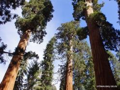 Sekvojos nacionalinis parkas. Didysis mamutmedis (Sequoiadendron giganteum) (26)