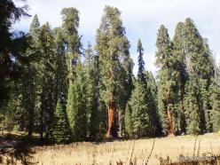 Sekvojos nacionalinis parkas. Didysis mamutmedis (Sequoiadendron giganteum) (27)