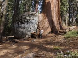 Sekvojos nacionalinis parkas. Didysis mamutmedis (Sequoiadendron giganteum) (29)