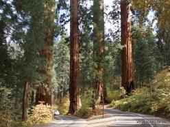 Sekvojos nacionalinis parkas. Didysis mamutmedis (Sequoiadendron giganteum) (3)