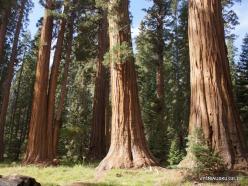 Sekvojos nacionalinis parkas. Didysis mamutmedis (Sequoiadendron giganteum) (30)
