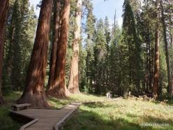 Sekvojos nacionalinis parkas. Didysis mamutmedis (Sequoiadendron giganteum) (31)