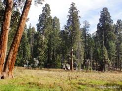 Sekvojos nacionalinis parkas. Didysis mamutmedis (Sequoiadendron giganteum) (32)