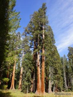 Sekvojos nacionalinis parkas. Didysis mamutmedis (Sequoiadendron giganteum) (33)