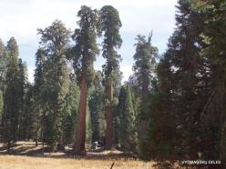 Sekvojos nacionalinis parkas. Didysis mamutmedis (Sequoiadendron giganteum) (34)