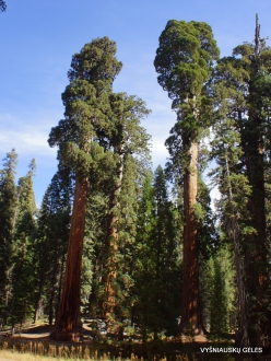 Sekvojos nacionalinis parkas. Didysis mamutmedis (Sequoiadendron giganteum) (35)