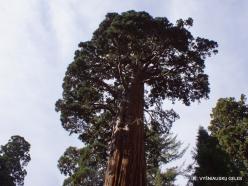 Sekvojos nacionalinis parkas. Didysis mamutmedis (Sequoiadendron giganteum) (36)