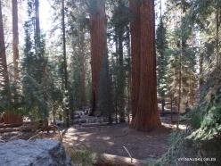 Sekvojos nacionalinis parkas. Didysis mamutmedis (Sequoiadendron giganteum) (37)
