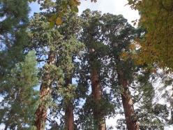 Sekvojos nacionalinis parkas. Didysis mamutmedis (Sequoiadendron giganteum) (4)