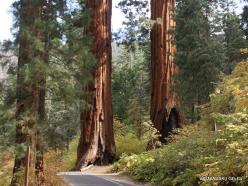 Sekvojos nacionalinis parkas. Didysis mamutmedis (Sequoiadendron giganteum) (5)