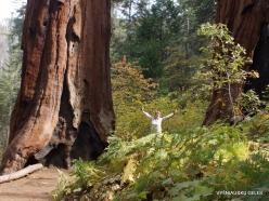 Sekvojos nacionalinis parkas. Didysis mamutmedis (Sequoiadendron giganteum) (6)
