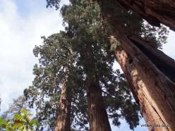 Sekvojos nacionalinis parkas. Didysis mamutmedis (Sequoiadendron giganteum) (8)