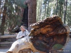 """Sekvojos nacionalinis parkas. Didysis mamutmedis (Sequoiadendron giganteum). """"General Sherman"""" – didžiausias medis pasaulyje (2)"""