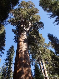 """Sekvojos nacionalinis parkas. Didysis mamutmedis (Sequoiadendron giganteum). """"General Sherman"""" – didžiausias medis pasaulyje (5)"""