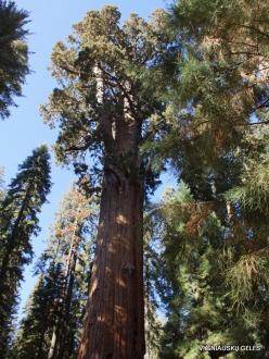 """Sekvojos nacionalinis parkas. Didysis mamutmedis (Sequoiadendron giganteum). """"General Sherman"""" – didžiausias medis pasaulyje (6)"""