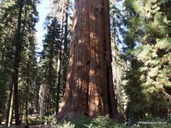 """Sekvojos nacionalinis parkas. Didysis mamutmedis (Sequoiadendron giganteum). """"General Sherman"""" – didžiausias medis pasaulyje (7)"""