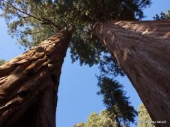 Sekvojos nacionalinis parkas. Didysis mamutmedis (Sequoiadendron giganteum). Mamumutmedžiai dvyniai (2)
