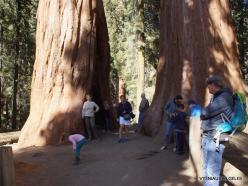 Sekvojos nacionalinis parkas. Didysis mamutmedis (Sequoiadendron giganteum). Mamumutmedžiai dvyniai