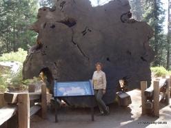 Sekvojos nacionalinis parkas. Didysis mamutmedis (Sequoiadendron giganteum). Nuopjova