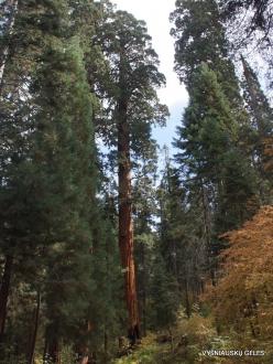 Sekvojos nacionalinis parkas. Didysis mamutmedis (Sequoiadendron giganteum)