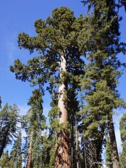 Sekvojos nacionalinis parkas. Geltonoji pušis (Pinus ponderosa)