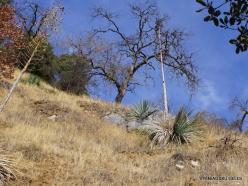 Sekvojos nacionalinis parkas. Hesperoyucca whipplei (3)