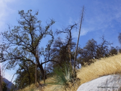 Sekvojos nacionalinis parkas. Hesperoyucca whipplei (4)