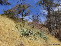 Sekvojos nacionalinis parkas. Hesperoyucca whipplei (5)