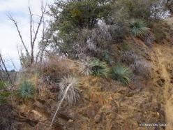Sekvojos nacionalinis parkas. Hesperoyucca whipplei (7)