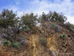 Sekvojos nacionalinis parkas. Hesperoyucca whipplei (9)