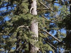 Sekvojos nacionalinis parkas. Saldžioji pušis (Pinus lambertiana) (3)