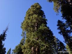 Sekvojos nacionalinis parkas. Saldžioji pušis (Pinus lambertiana) (4)