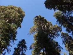 Sekvojos nacionalinis parkas. Saldžioji pušis (Pinus lambertiana) (5)
