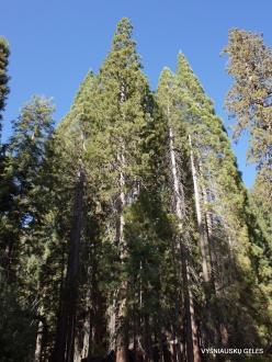 Sekvojos nacionalinis parkas. Saldžioji pušis (Pinus lambertiana)