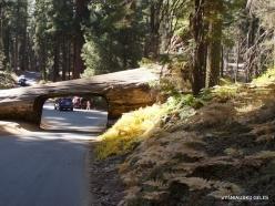 Sekvojos nacionalinis parkas. Tunelis per mamutmedį (2)